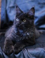 Продаются чистокровные котята мейн-кун
